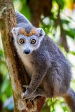 Crowned Lemur royalty free stock image