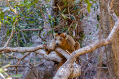 Crowned Lemur in Ankarana Park Madagascar Royalty Free Stock Images