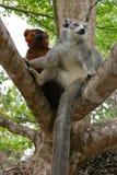 Crowned lemur and ruffed lemur Stock Images