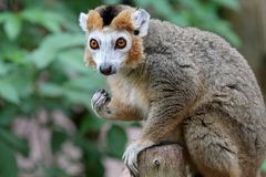 Crowned lemur. A Crowned lemur close up portrait stock images