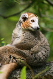 Crowned lemur (Eulemur coronatus). Sitting on a branch in a tree Stock Photography