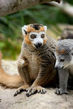 Crowned Lemur Royalty Free Stock Photos