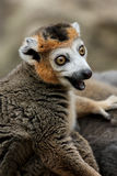 Crowned Lemur Stock Photography