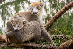 Crowned lemur Stock Image