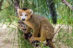Crowned lemur. (Eulemur Coronatus), endemic lemur from northern Madagascar Stock Photos