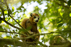 Crowned lemur, Eulemur coronatus, watching the photographer, Amber Mountain National Park, Madagascar Royalty Free Stock Photos