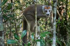 Adult Crowned Lemur royalty free stock image