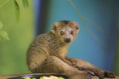 Crowned lemur. The juvenile of crowned lemur sitting on the wooden desk royalty free stock photos
