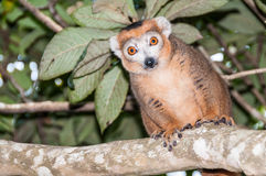 Crowned lemur. Male crowned lemur in Amber Mountain National Park, Madagascar royalty free stock image