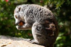 Crowned Lemur twins born at Bristol Zoo, UK. Bristol Zoo Gardens, UK. 3 May 2018. Twin Crowned Lemurs have been born at Bristol Zoo Gardens. nThe as yet unnamed stock photos