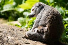 Crowned Lemur twins born at Bristol Zoo, UK. Bristol Zoo Gardens, UK. 3 May 2018. Twin Crowned Lemurs have been born at Bristol Zoo Gardens. nThe as yet unnamed royalty free stock image