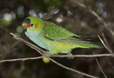 Crowned lorikeet. Royalty Free Stock Image