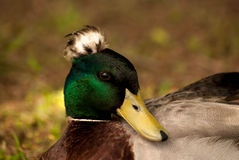 Crowned Mallard Stock Images