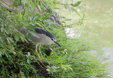 Crowned night heron hide in underbrush Stock Image