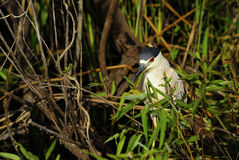 Crowned Night Heron Stock Image