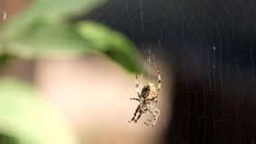Crowned orb weaver sits in a web and does something stock video