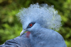 Crowned Pigeon Royalty Free Stock Photography