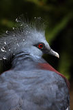 Crowned Pigeon Royalty Free Stock Image