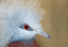 Crowned Pigeon Royalty Free Stock Photos