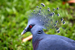 Crowned Pigeon Royalty Free Stock Photo
