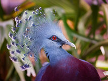 Crowned pigeon. Close up of eye Royalty Free Stock Image