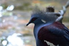 Crowned Pigeon Stock Photography