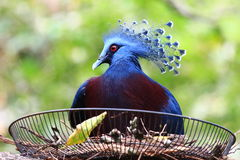 The crowned pigeon is in the nest Stock Image