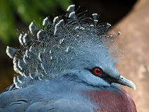 Crowned Pigeon Stock Image