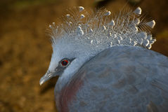 Crowned pigeon, Singapore Stock Images