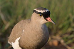 Crowned Plover. Closeup of a Crowned Plover Stock Images