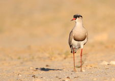 Crowned Plover Stock Image