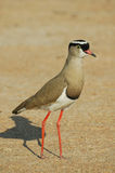 Crowned plover. Very common resident. White circle surroundung a black cap. Red bill and legs. Eyes usually pale yellow, sometimes dark brown. Long-legged. Pairs Royalty Free Stock Photos