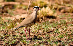 Crowned plover Royalty Free Stock Photography