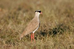 Crowned plover Royalty Free Stock Photo