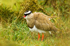 Crowned Plover Stock Photo