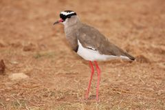 Crowned Plover Bird Royalty Free Stock Images