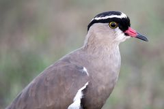 Crowned Plover Bird Royalty Free Stock Photography