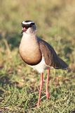 Crowned Plover Bird Royalty Free Stock Photo