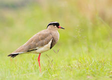 Crowned plover (crowned lapwing) Royalty Free Stock Image
