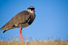 Crowned plover Royalty Free Stock Images