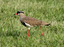 Crowned Plover Lapwing Bird with Extended Leg Royalty Free Stock Image