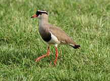 Crowned Plover Lapwing Bird Leg Forward Royalty Free Stock Photos