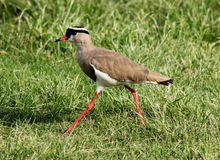 Crowned Plover Lapwing Bird Walking Stock Images