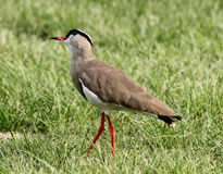 Crowned Plover Lapwing Bird Wary Stock Photo