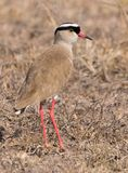 Crowned Plover Hunts the Grasses Royalty Free Stock Image