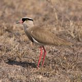 Crowned Plover Hunts the Grasses Royalty Free Stock Photography