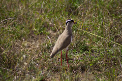 Crowned Plover Stock Photography
