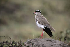 Crowned plover, Vanellus coronatus Royalty Free Stock Photo