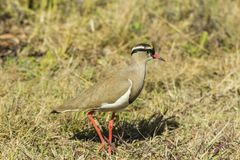 Crowned plover walking across dry grass stock photo