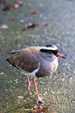 Crowned plover Stock Photos
